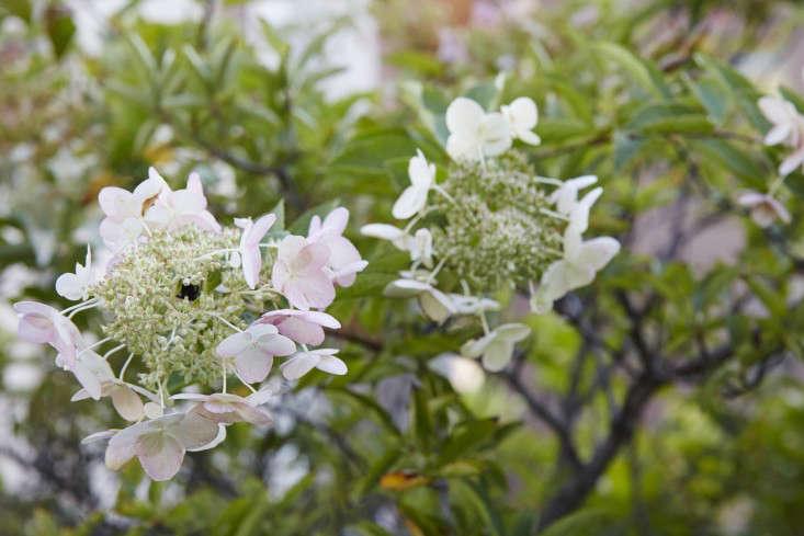 manhattan-roof-garden-hydrangea-gardenista