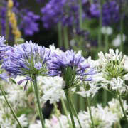 marie-viljoen-agapanthus-collection-gardenista
