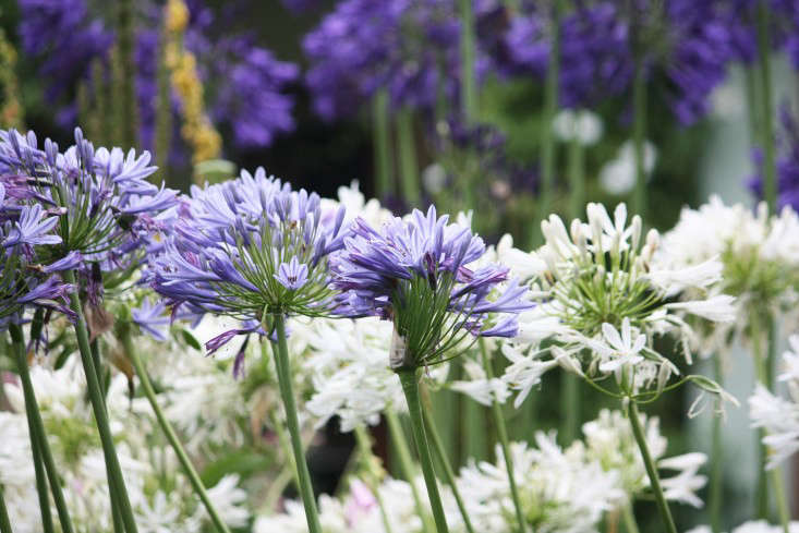 marie-viljoen-agapanthus-collection-gardenista
