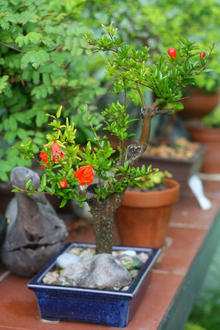 marie-viljoen-bonsai-pomegranate-gardenista