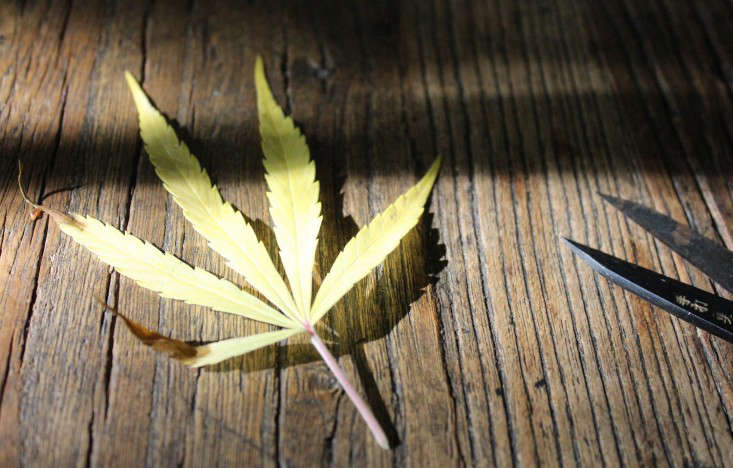 marijuana-plant-yellow-leaves-gardenista-4