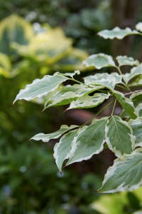 Kousa dogwood leaf Marjorie Harris Toronto garden ; Gardenista