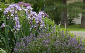 Martha Stewart bearded iris clump ; Gardenista