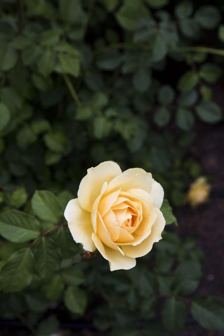 mediterranean-garden-linsteadt-7-gardenista