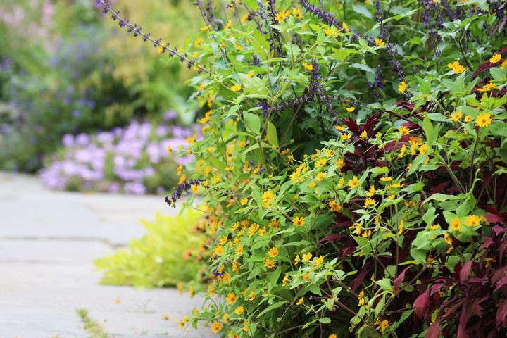 melampodium-marie-viljoen-gardenista