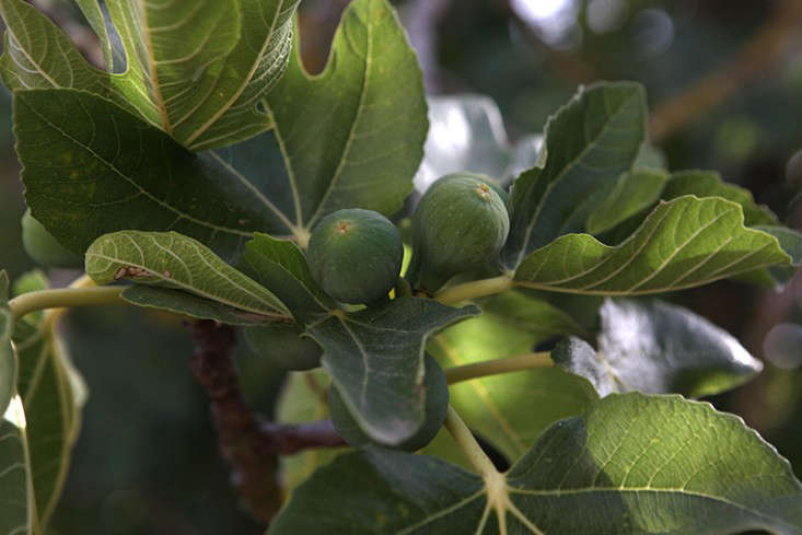 menorca fig