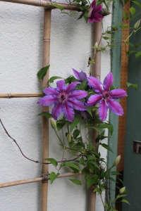 Michelle garden shed clematis vine ; Gardenista