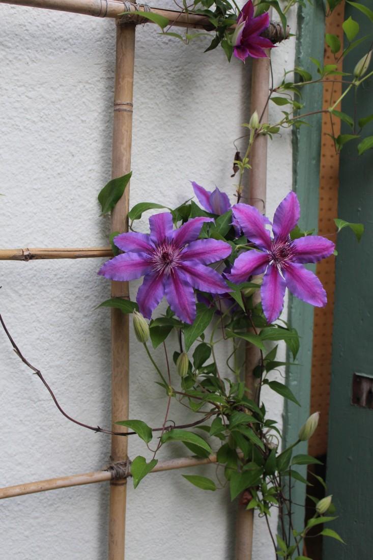 michelle-shed-clematis-1-gardenista