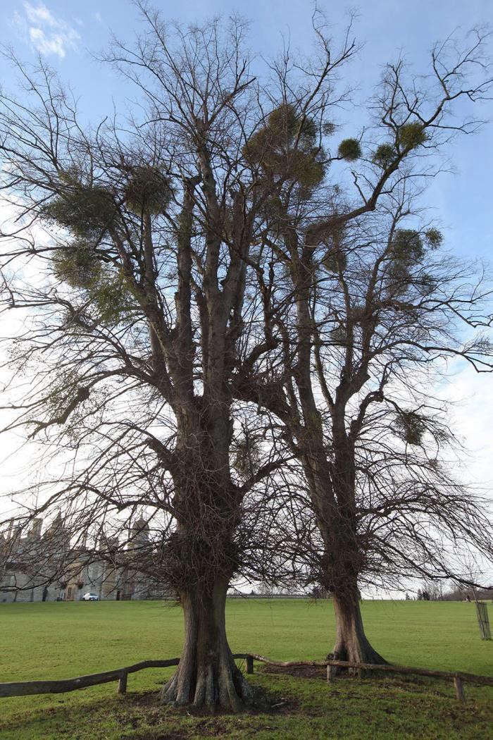 mistletoe-balls-tree-burghey-UK-gardenista