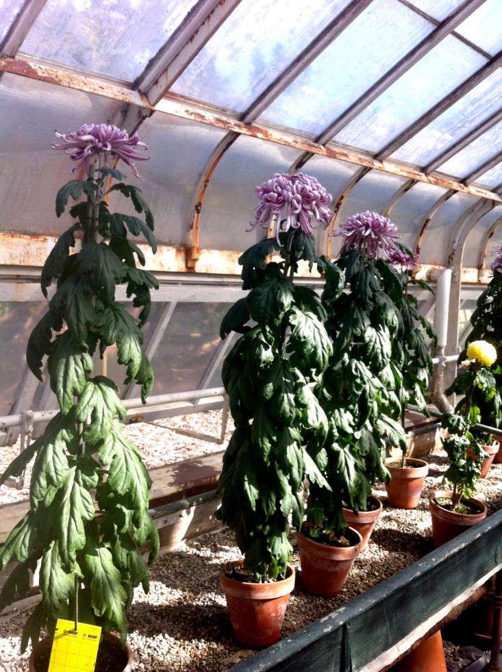mums-1-isabella-stewart-gardener-museum-gardenista