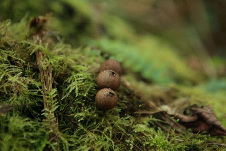 mushroom-puffball-1
