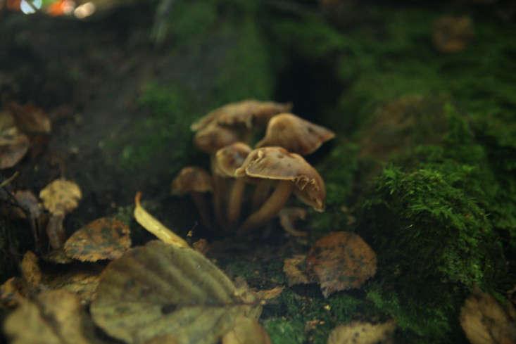 mushroom-tough-shanks