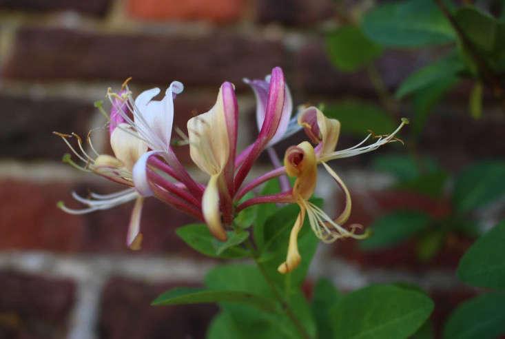night-scented-honeysuckle