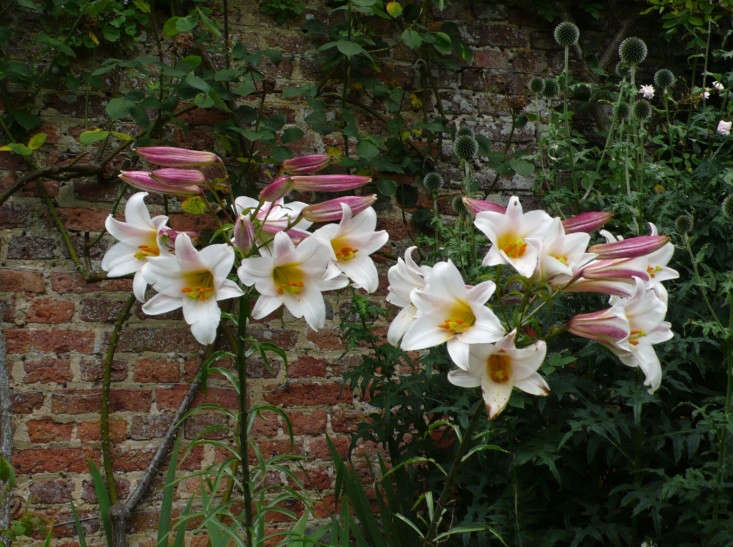 night-scented-lily-regale-2