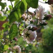 night-scented-rose
