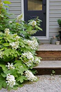 Oakleaf hydrangea Snowflake ; Gardenista
