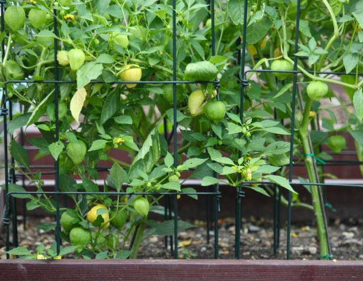 obama-white-house-garden-tomatillos-gardenista