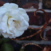 old rose on trellis at bill stock's house