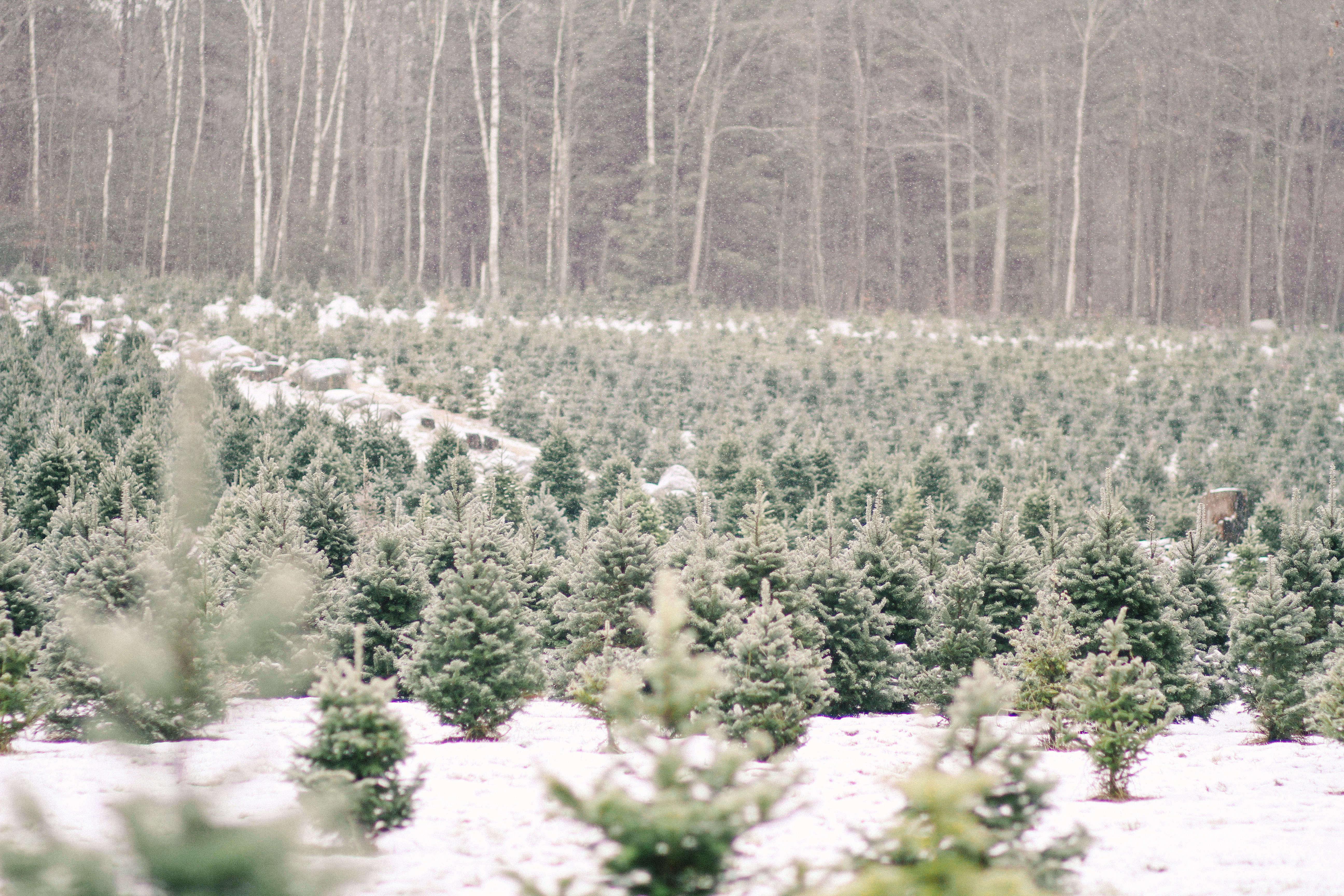 old-farm-christmas-tree-farm-Justina-Bilodeau-gardenista-0011