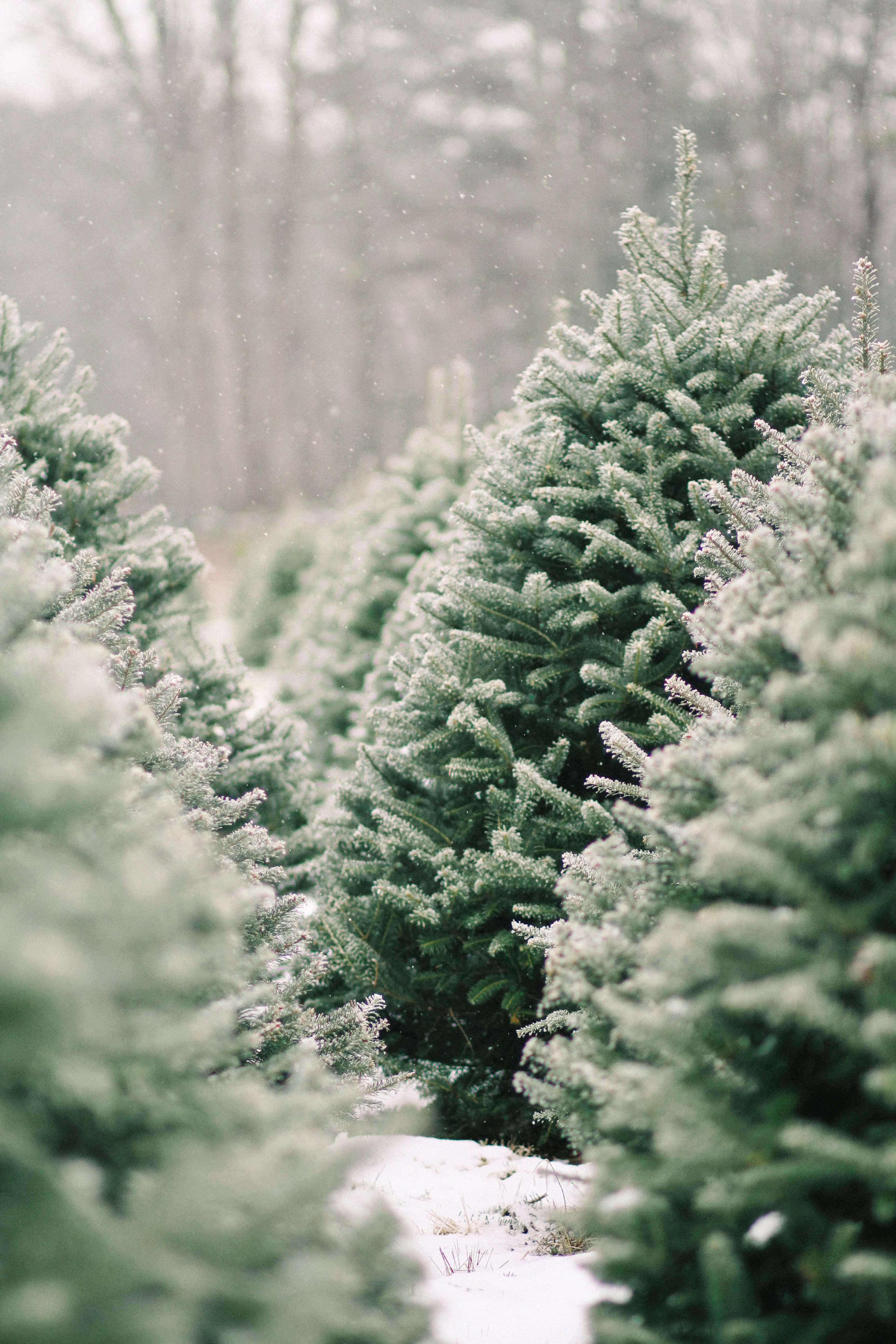 old-farm-christmas-tree-farm-Justina-Bilodeau-gardenista-0015