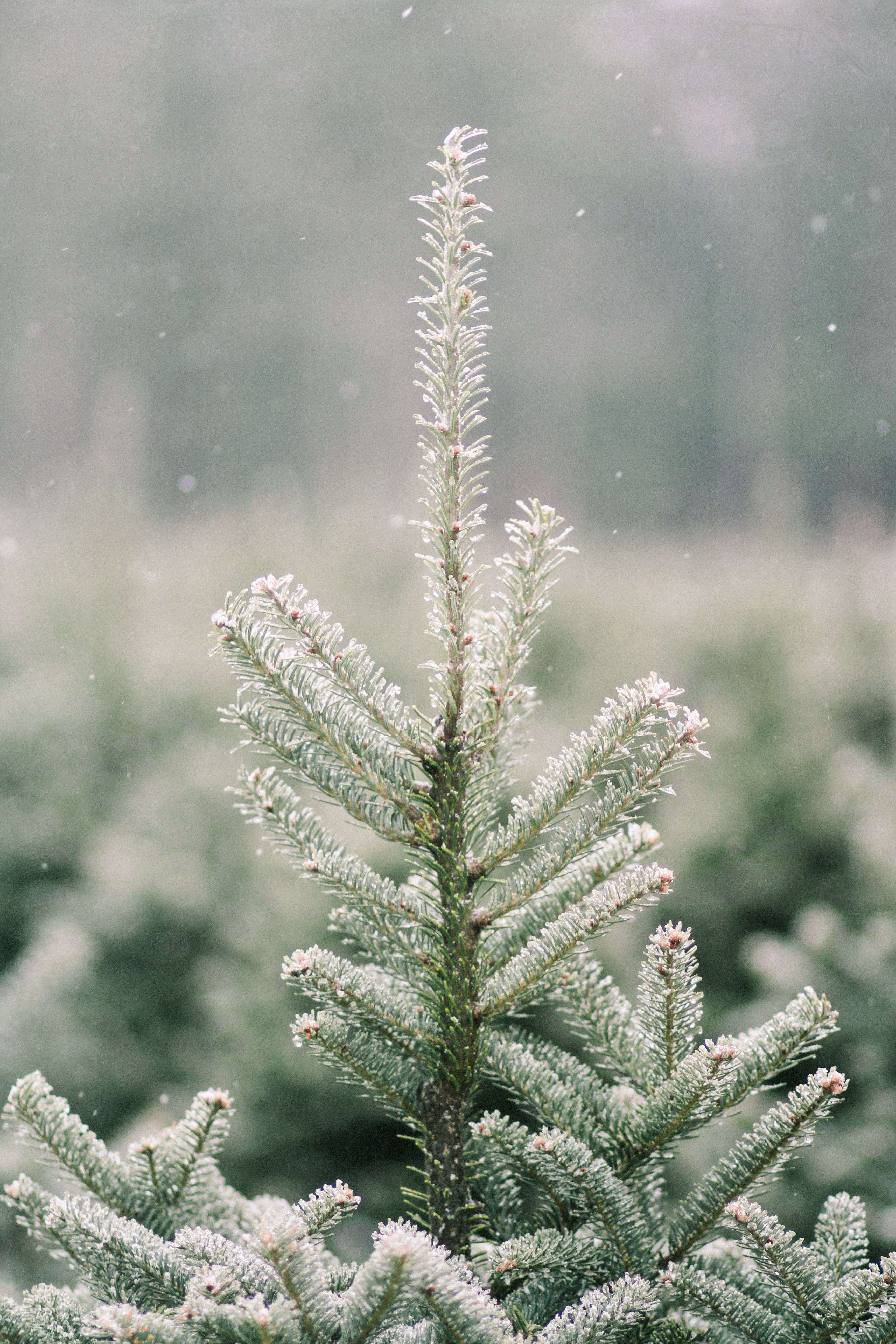 Shopper's Diary: A Christmas Tree Farm in Maine - Gardenista