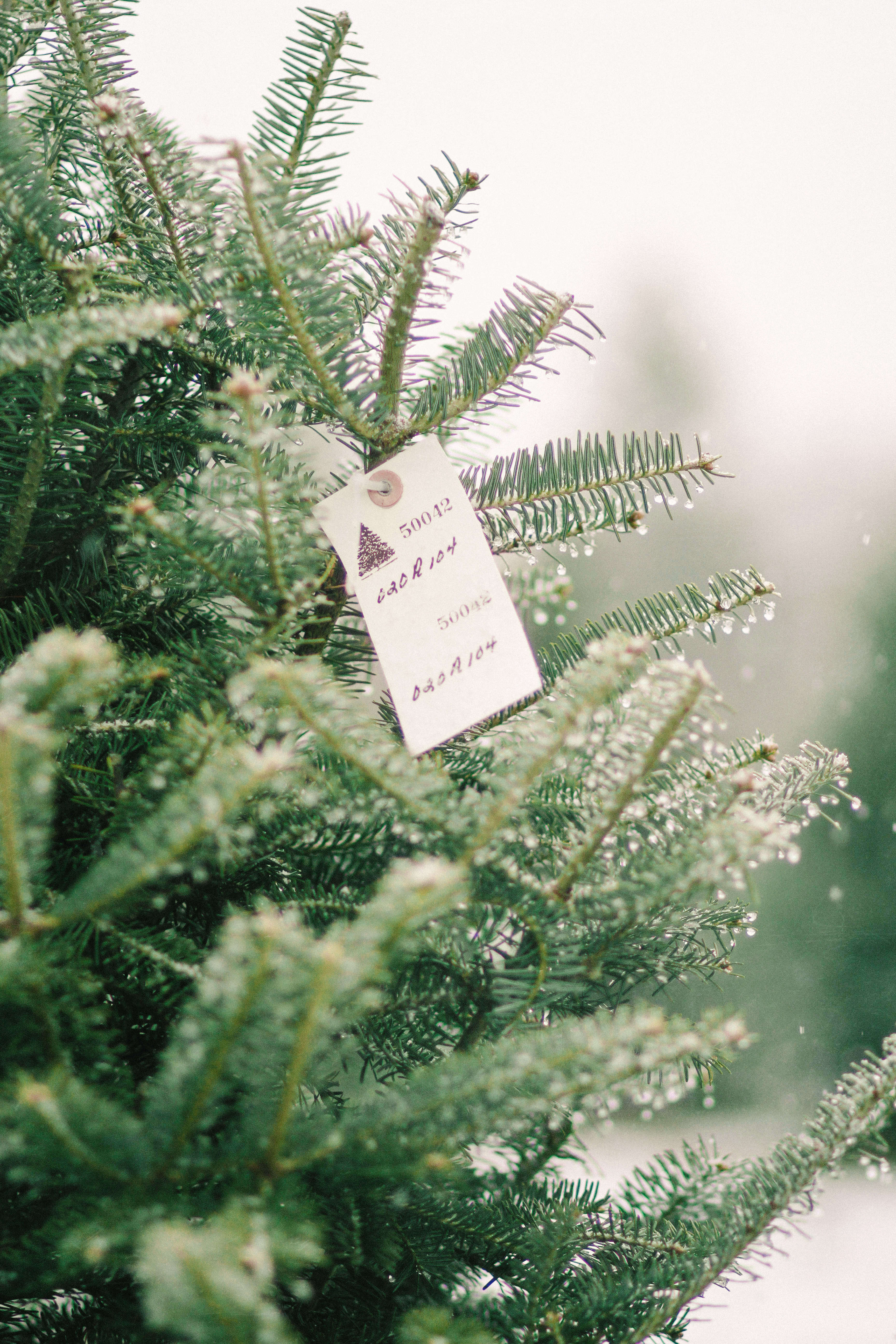 wwwgardenistacomwp contentuploads201504fiel - How To Start A Christmas Tree Farm