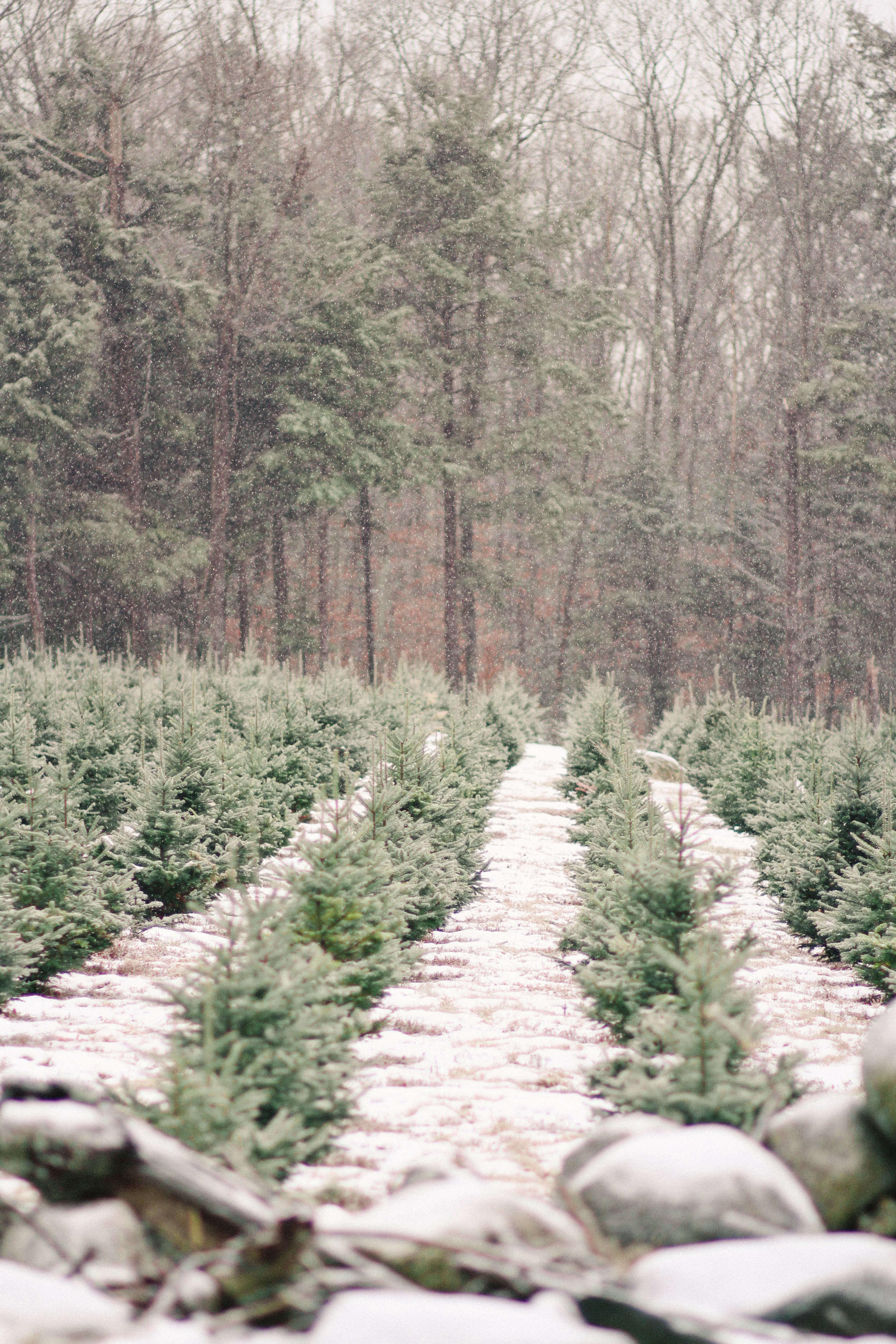 old-farm-christmas-tree-farm-Justina-Bilodeau-gardenista-0067