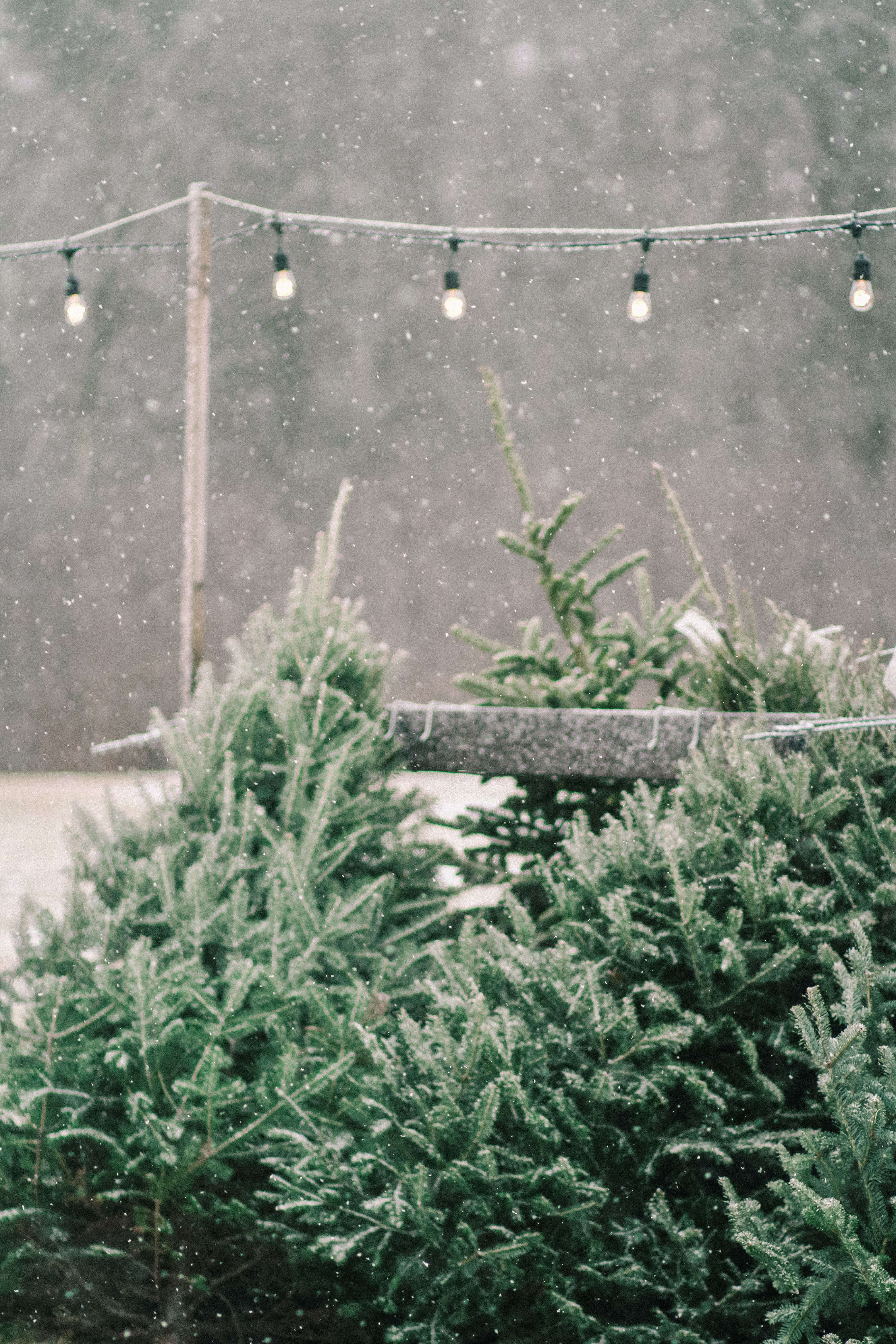 old-farm-christmas-tree-farm-Justina-Bilodeau-gardenista-0071