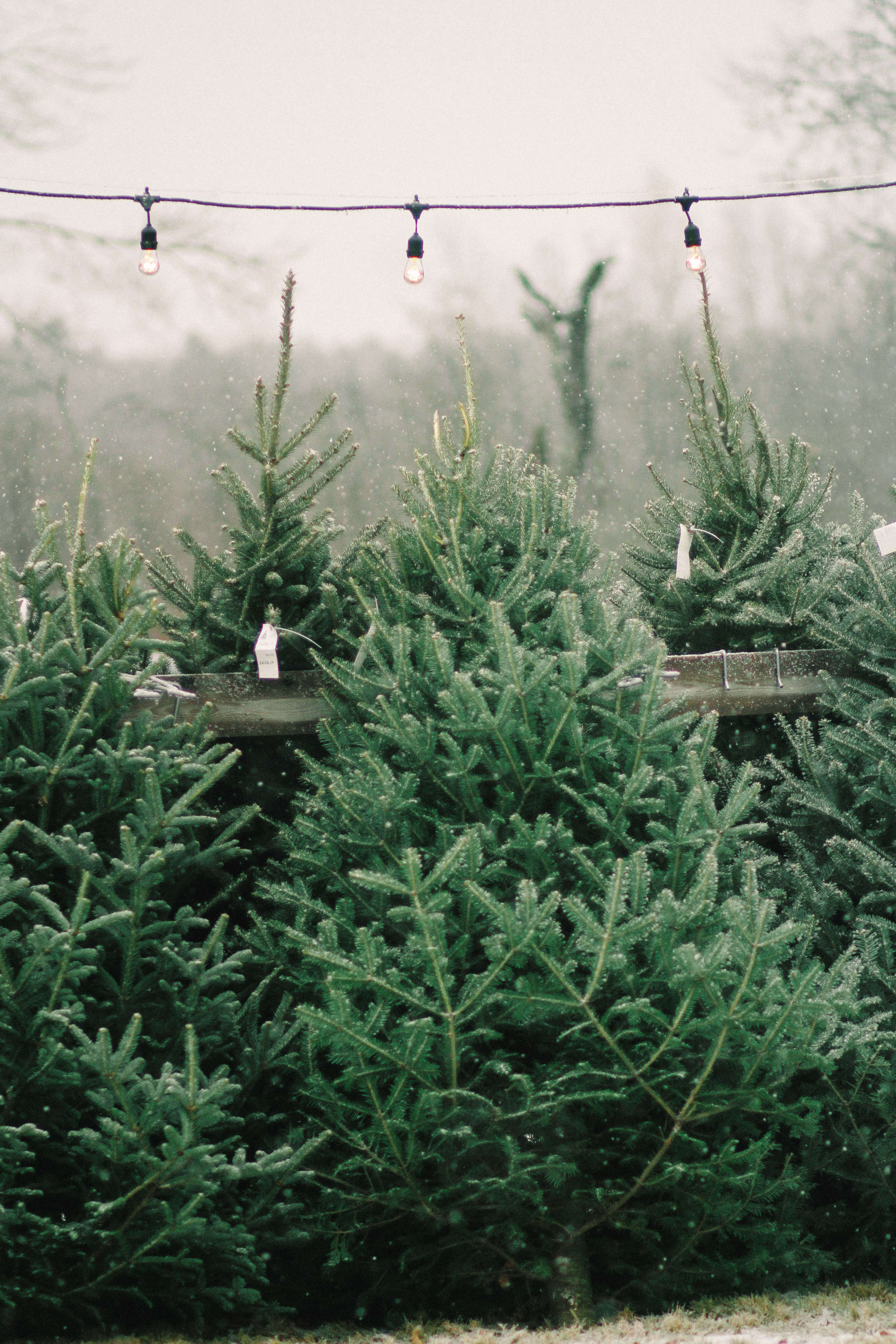 old-farm-christmas-tree-farm-Justina-Bilodeau-gardenista-0075