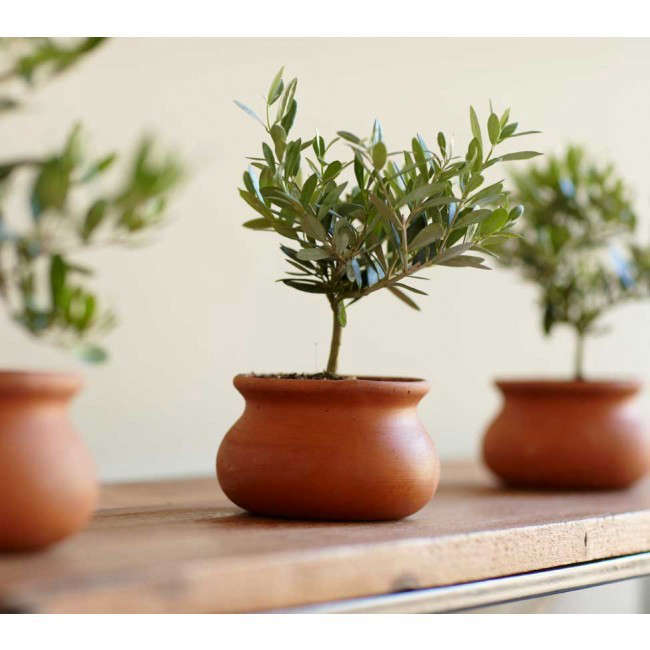 olive-plant-topiary-gardenista