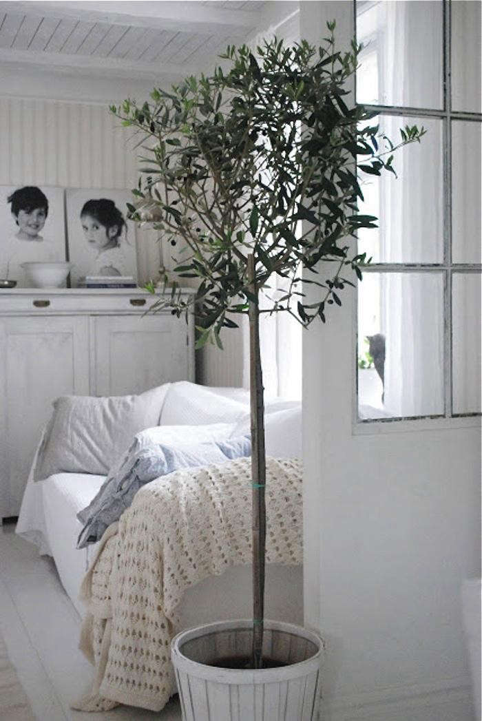olive-tree-potted-indoors