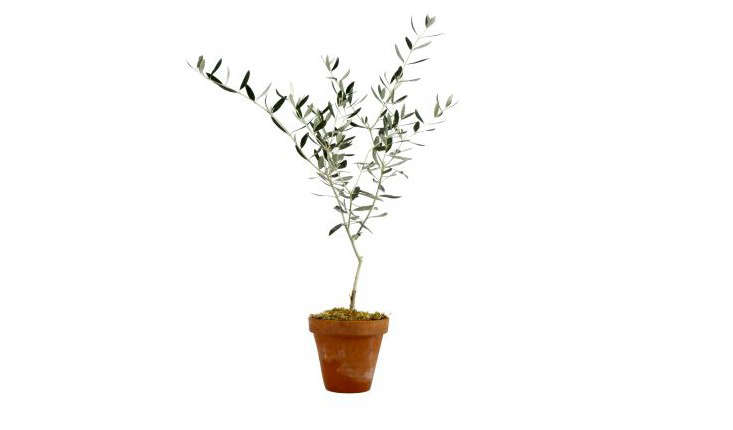 olive-tree-potted-topiary-gardenista