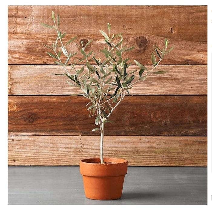 olive tree in terra cotta pot gardenista. Black Bedroom Furniture Sets. Home Design Ideas