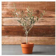 olive-tree-potted-williams-sonoma-agrarian