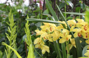 orchid-show-cymbidium-marie-viljoen-gardenista