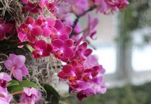 orchid-show-phalaenopsis-pink-marie-viljoen-gardenista