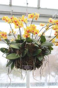 orchid-show-yellow-phalaenopsis-marie-viljoen-gardenista