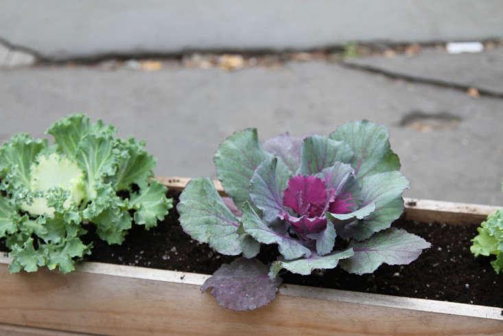 ornamental-kale-3-erinboyle-gardenista