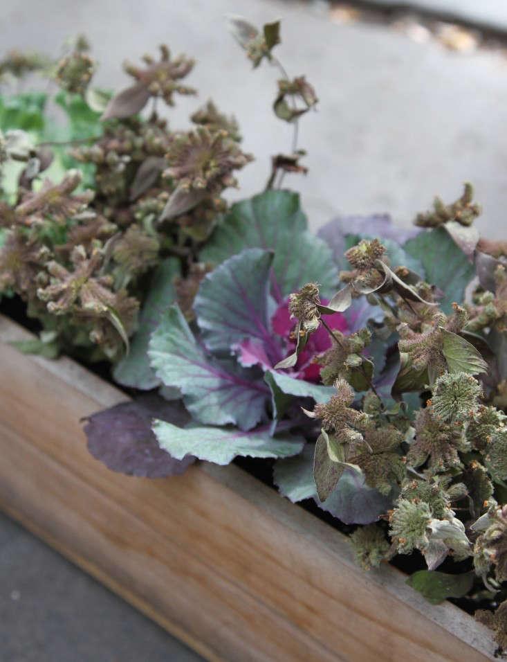 ornamental-kale-5-erinboyle-gardenista