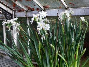 5 Favorite Narcissus: Gardenista