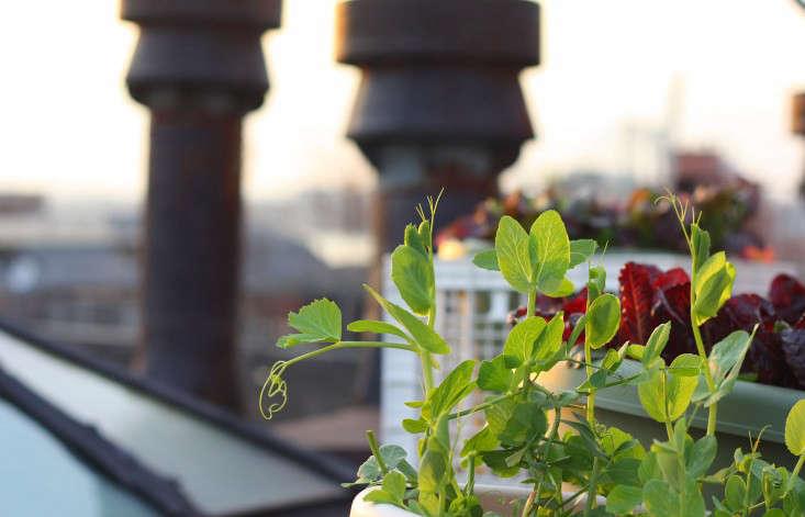 pea-shoots2-marie-viljoen-gardenista