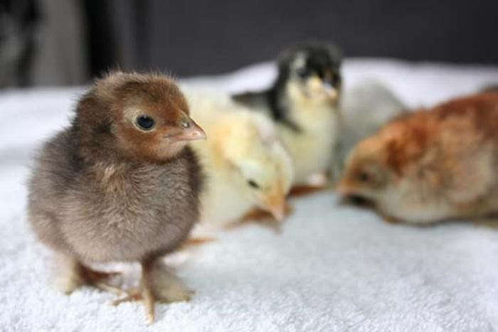 pekin chicks