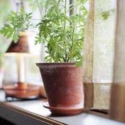 pelargonium-houseplant-sweden-gardenista