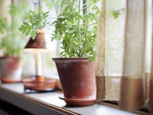 Pelargoniums houseplant Sweden ; Gardenista