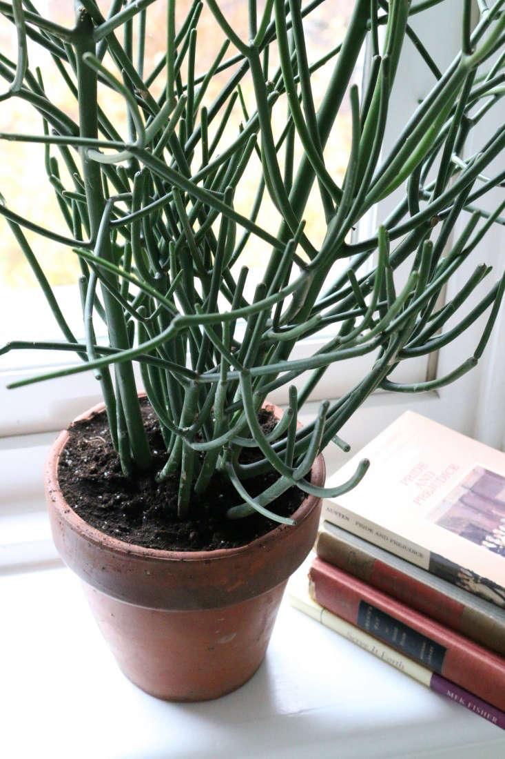 pencil_cactus_1_erin_boyle_gardenista