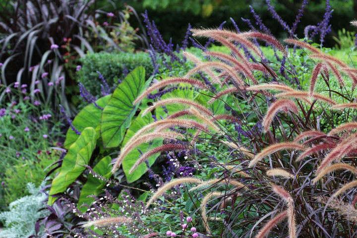 pennisetum-marie-viljoen-gardenista