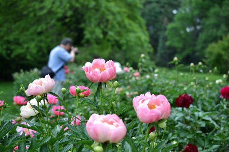 peonies-brooklyn-botanical-garden-gardenista