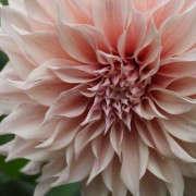 pink-dahlia-closeup-gardenista