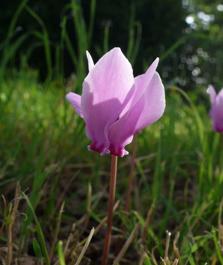 plants for trees_cyclamen