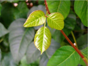poison-ivy-ID-leaves-of-three-let-it-be-gardenista